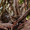 A Great Horned Owl sits on its nest in a Eucalyptus tree