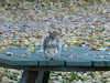 Squirrel standing on a picnic table staring at me,PARC-DE-L'ILE-DE-LA-VISITATION,L'ecureuil assis sur la table de pique-nique en train de me regarder