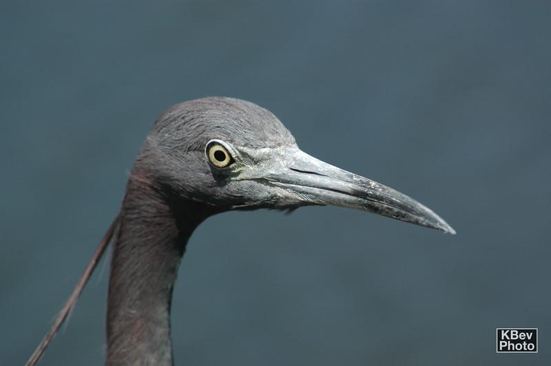 Blue Heron (Everglades, 2007)