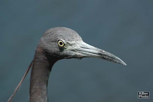 Blue Heron (Everglades, 2007)