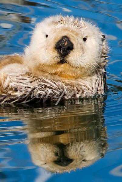 Sea otter reflection