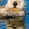 Sea otter reflection
