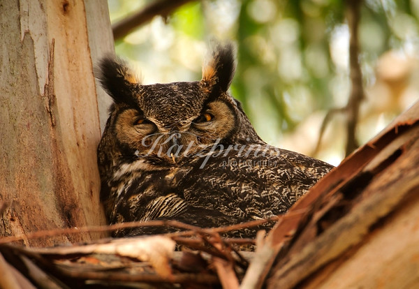 A Great Horned Owl sits on her nest in a Eucalyptus tree.