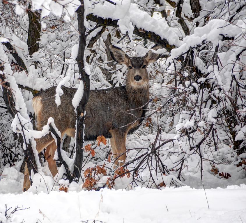 Snow Deer - Wasatch Front - Utah
