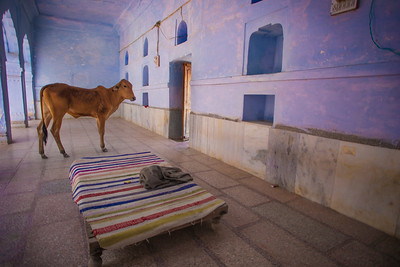 Cow in Temple