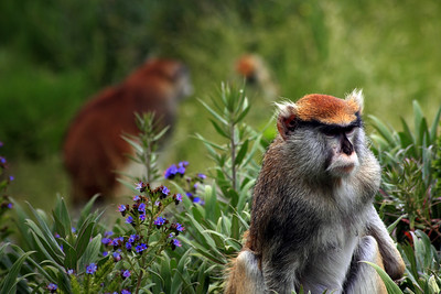Patas monkey (Erythrocebus patas) at the San Francisco Zoo - © Simpson Brothers Photography