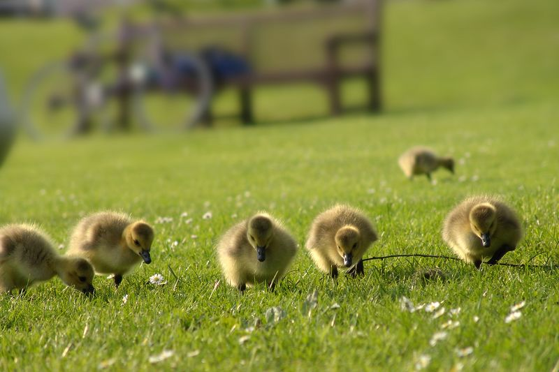 Goslings in near the Cavendish Physics Labs in Cambridge UK, taken on the 17th of May, 2004