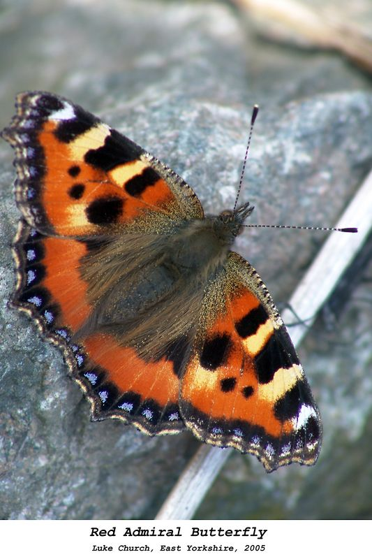 A Small Tortoiseshell butterfly sunning itself. Taken near the rail track running parallel to Humber Estuary, North Yorkshire. The photo was taken on the 31st August 2005. (Thanks to Malcolm for the correction)