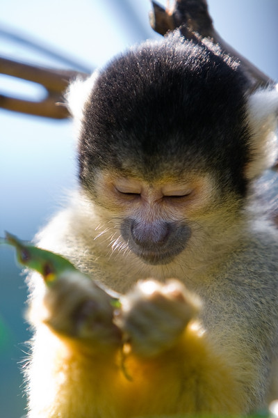 A Squirrel monkey<br /> <br /> (Saimiri boliviensis)