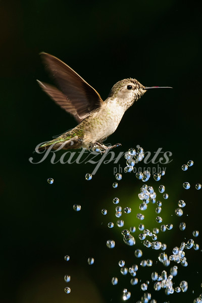 Anna's Hummingbird in fountain