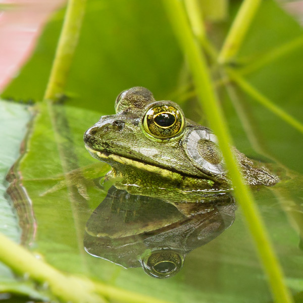 JHP 20170808-15770 bullfrog