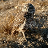 A Burrowing owl sits at the entrance of its underground burrow
