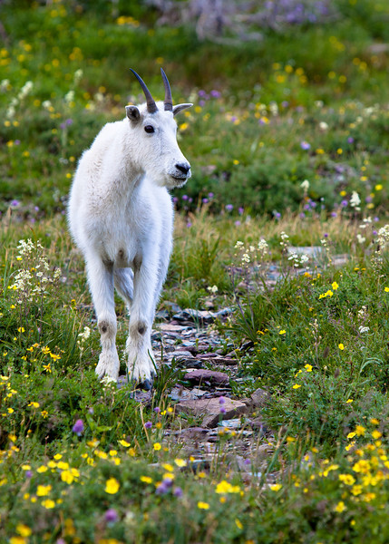 Baby mountain goat along the Hidden Lake Nature Trail