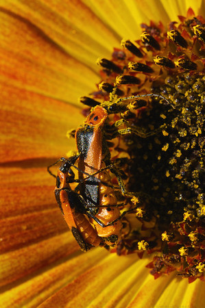 Beetles on Sunflower