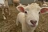 Lambing - Stowe, VT