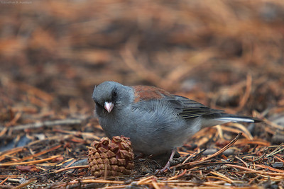 Junco and friend