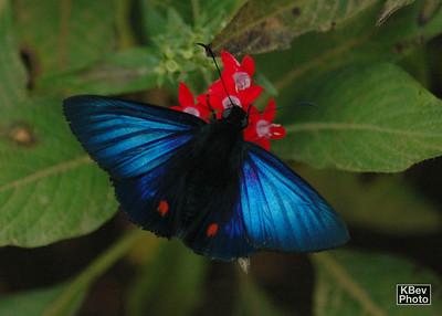The Bue Morpho (Monte Verde, Costa Rica, 2009)