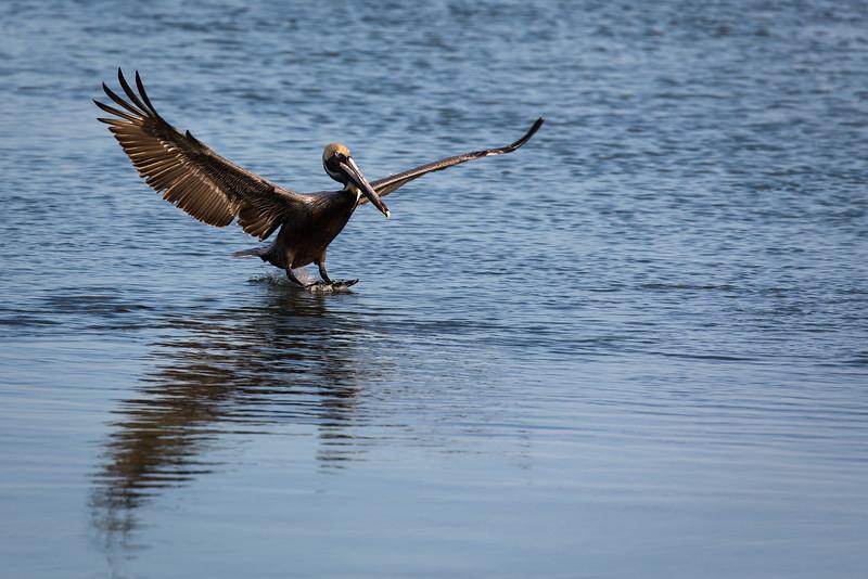 Soft Landing, pelican