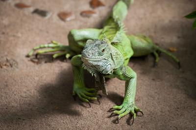 Green iguana II