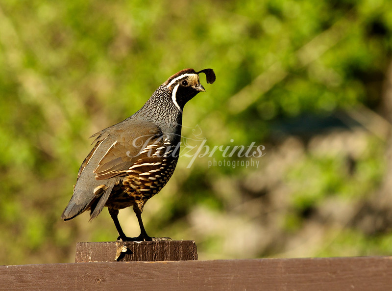 A California Quail sits on a sign in Pinnacles National Monument