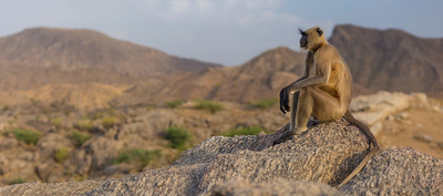 Gray Langur sitting on rocks 1