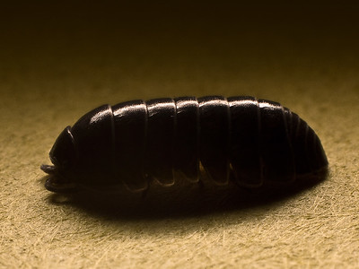 171/365 Woodlouse - © Simpson Brothers Photography