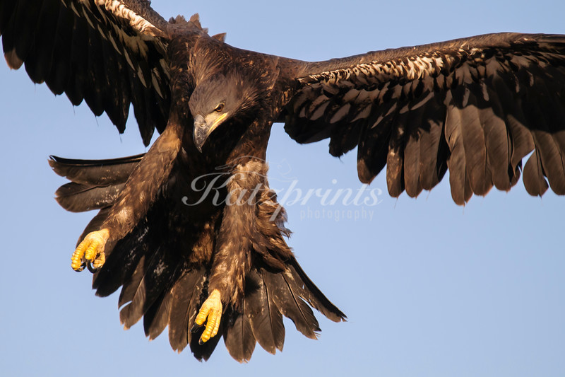 A juvenile bald eagle is testing its landing gear