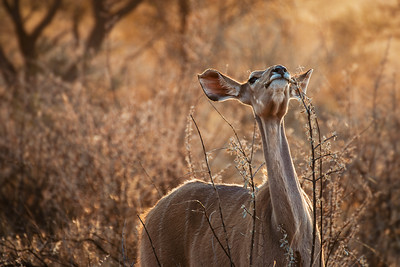 Greater kudu female