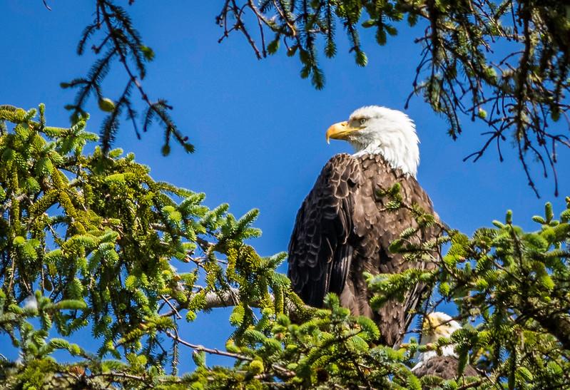 Sentinal Eagle