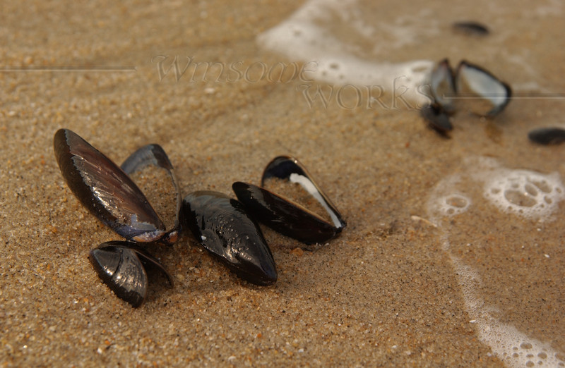 Mussel shells in Ocean Grove, NJ