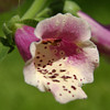 Foxglove in my Garden, Quakertown, PA (one of my first Nikon photos)