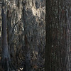 Cypress Swamp in Louisiana