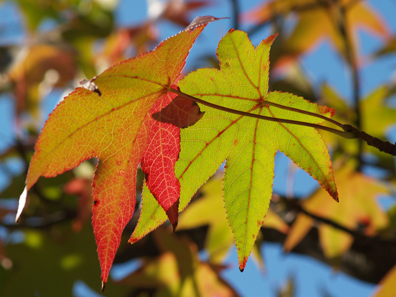 Sweetgum leaves by Quakertown borough skating pond