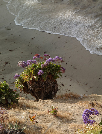 Sea Lavender (Limonium perezii) along coast in La Jolla