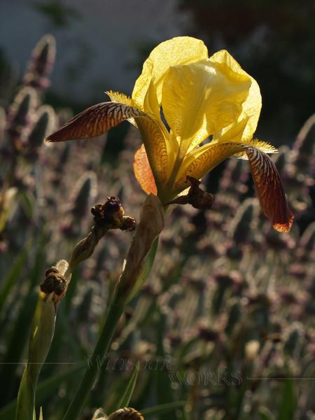 Back-lit Bearded Iris in Maze Garden, 3rd St., Bethlehem PA