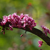 "Cercis canadensis ""Forest Pansy"" Redbud"