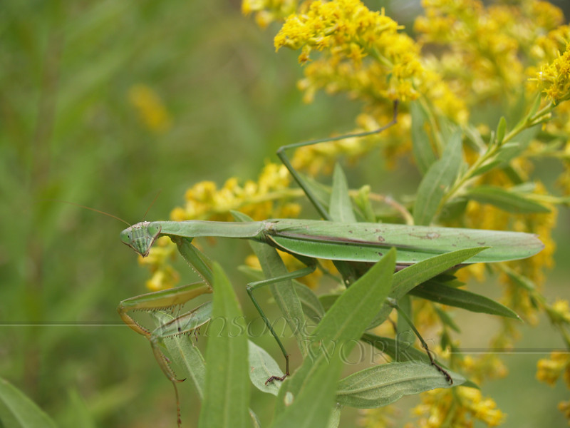 Preying Mantis on Goldenrod in September; Quakertown, PA