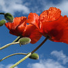 Pair of Red Poppies to the Sky