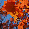 Brilliant Sugar Maple Leaves in Azure Sky