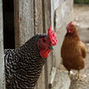 chickens at Troyer's store