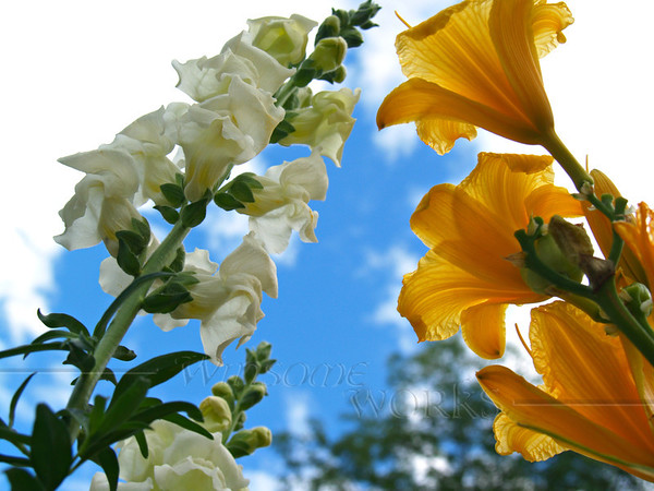 Snapdragons and Stella d'Oro Lilies, looking upwards   [Fx - PM]