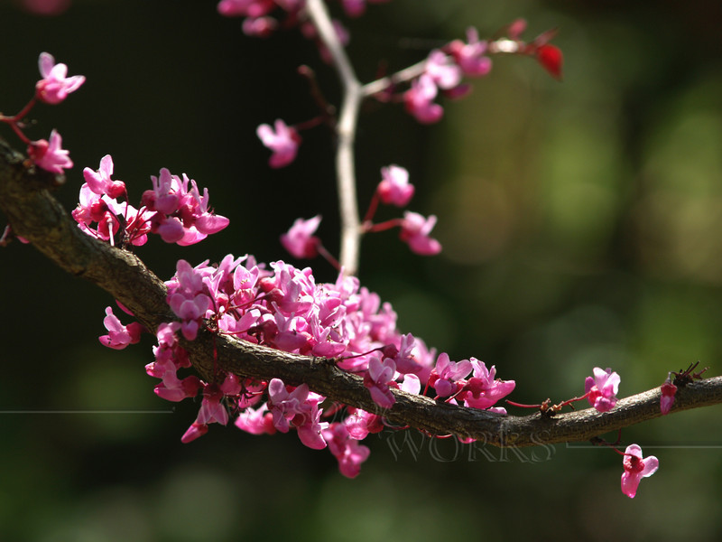 Glorious Forest Pansy Redbud in Spring