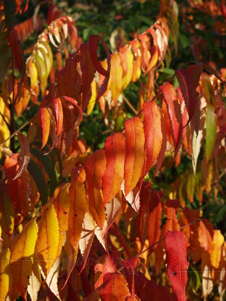 Sumac in Fall Glory