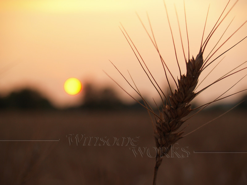 Dried barley stalk in sunset; Quakertown, PA
