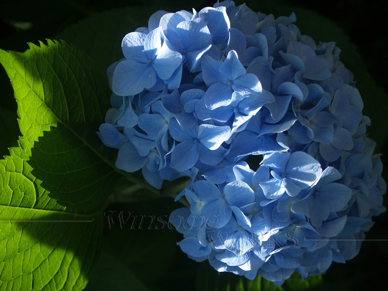Hydrangea macrophylla with elegant lighting