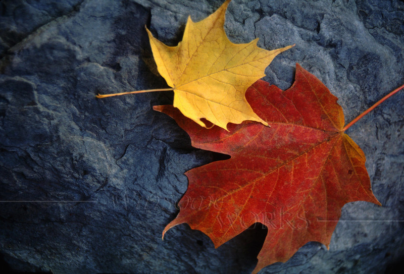 Autumn Maple Leaf Pair on Moody Rock; Pocono Mts., PA