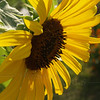 Back-lit Sunflower