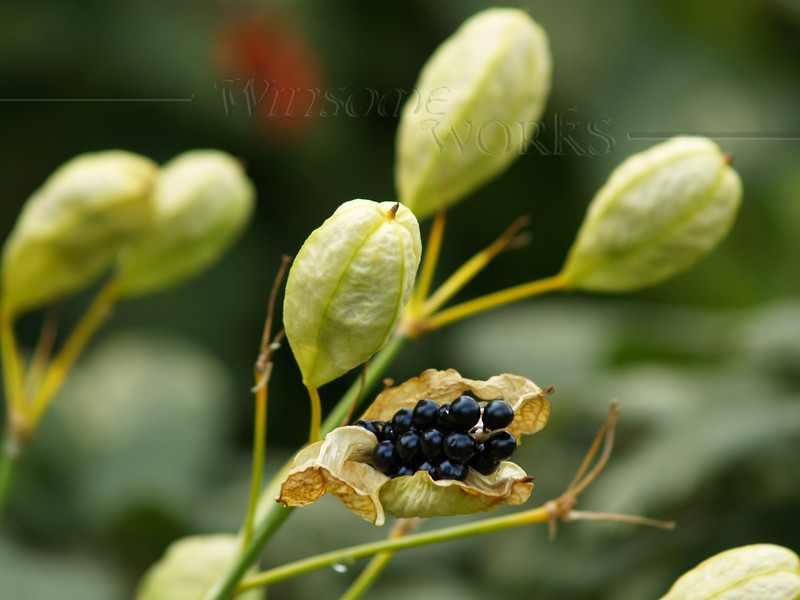 Chinese ornamental lily or blackberry lily... gone to seed in Sept. (Belamcanda chinensis; actually in the Iris family)