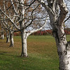 Birches in Autumn; Springtown, PA