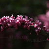 "Cercis canadensis ""Forest Pansy"" (Redbud) branch"